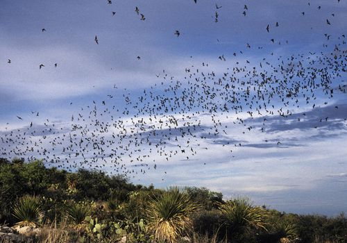 Mexican Freetail bats in flight at dusk, Tadarida brasiliensis. Carlsbad Caverns National Park. New Mexico. USA