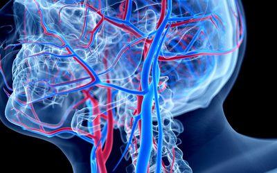 Vascular system of head - stock illustration