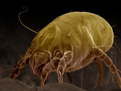 A dust mite can be seen with a scanning electron micrograph