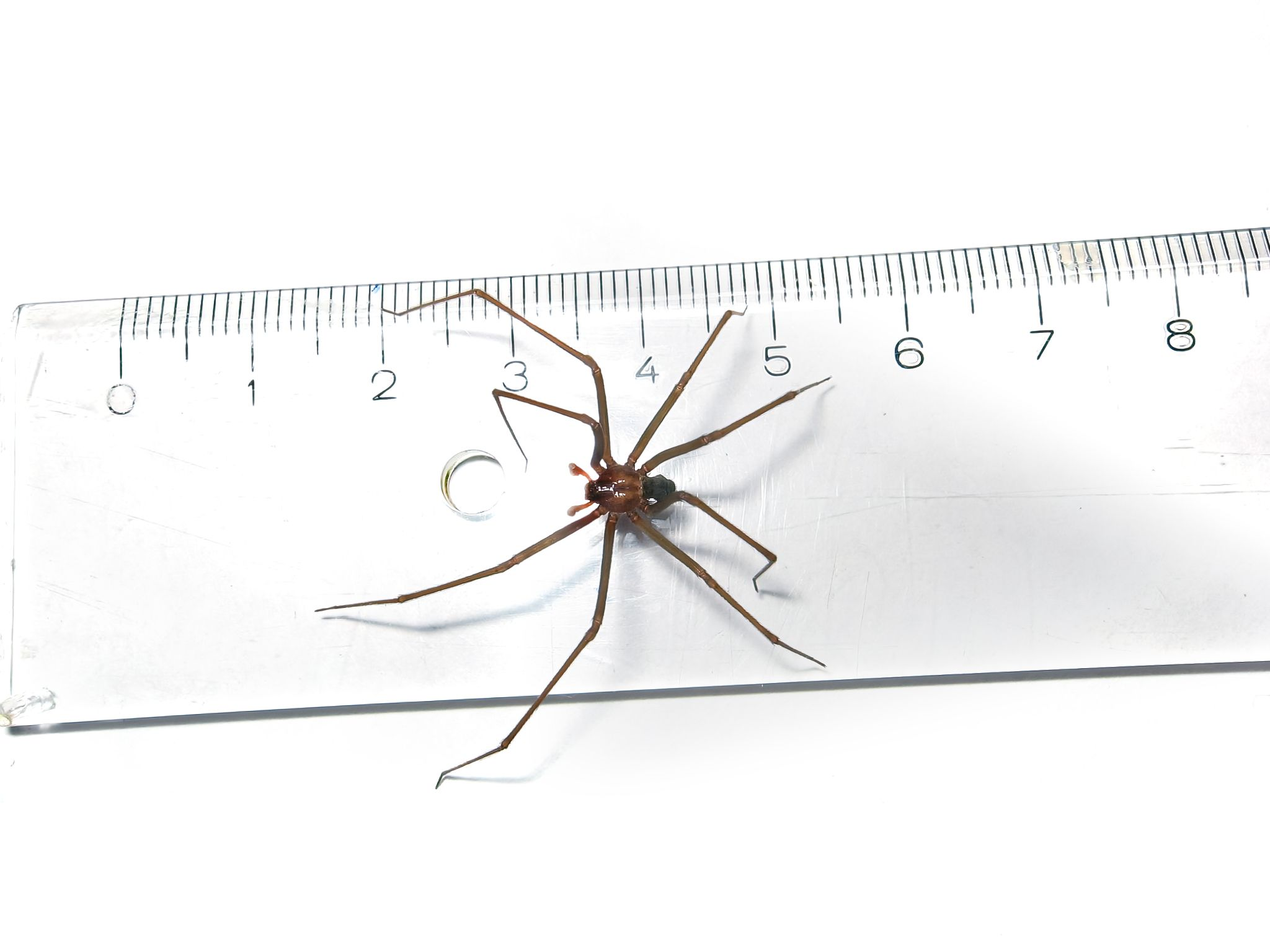 Brown recluse (Loxosceles) spider legspan size