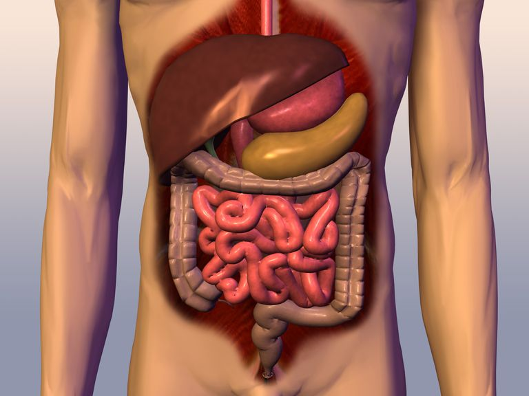 How The Digestive Process Is Controlled