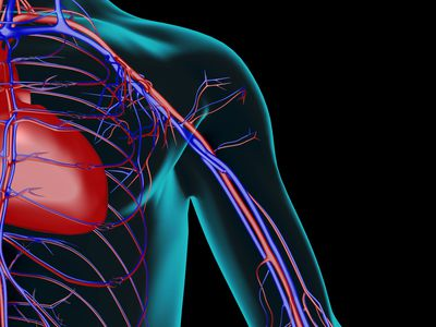 The blood supply of the shoulder - stock illustration