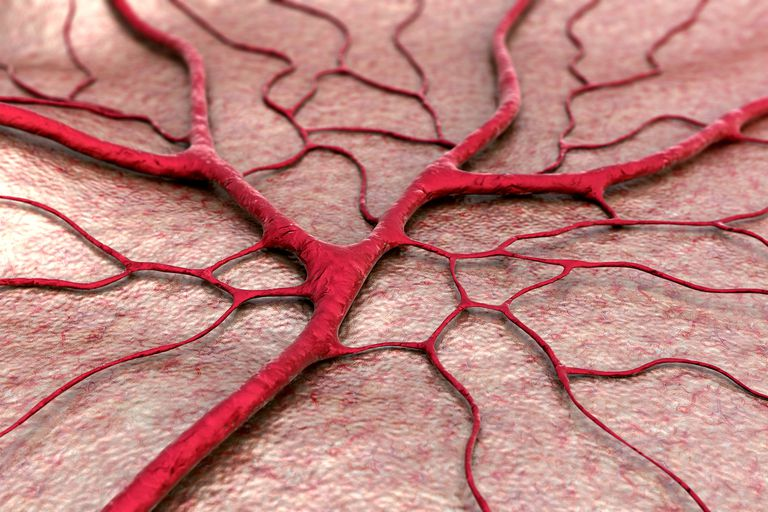 Illustration of veins and capillaries