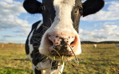 Close up of a cow in a field