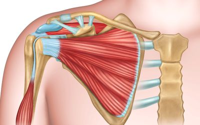 Shoulder bones and muscles
