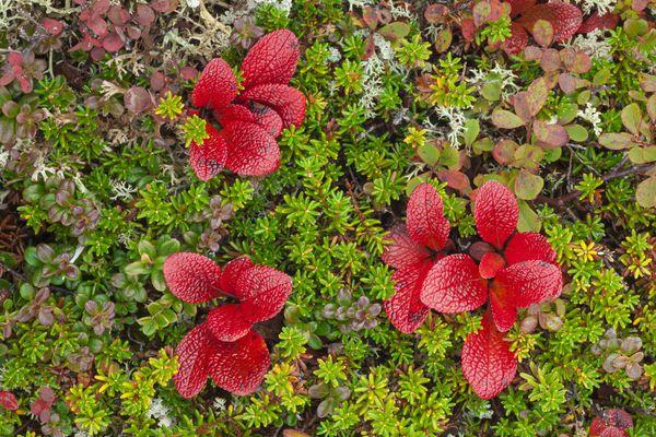 Macro shot of bearberry and other colorful tundra plants near Wonder Lake in Denali National Park, interior Alaska. Fall.