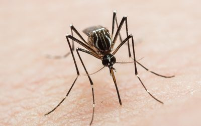 Aedes aegypti biting human skin
