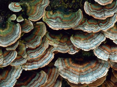 Layers of shelf fungi Trametes versicolor grow on a log