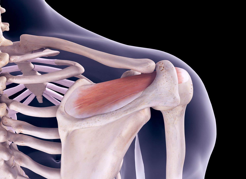 Rotator Cuff Muscles Supraspinatus Infraspinatus