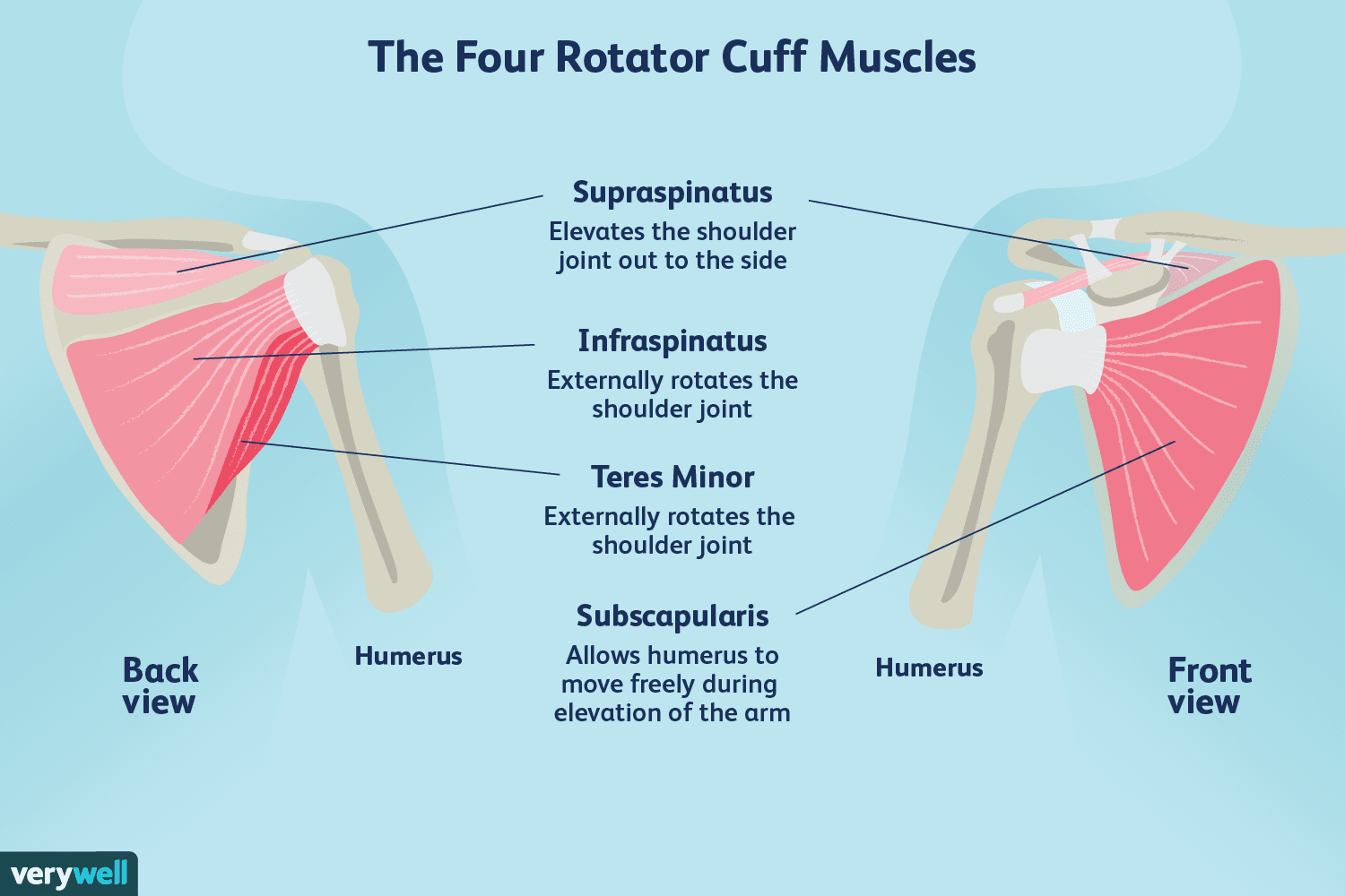 The S I T S Muscles of the Rotator Cuff