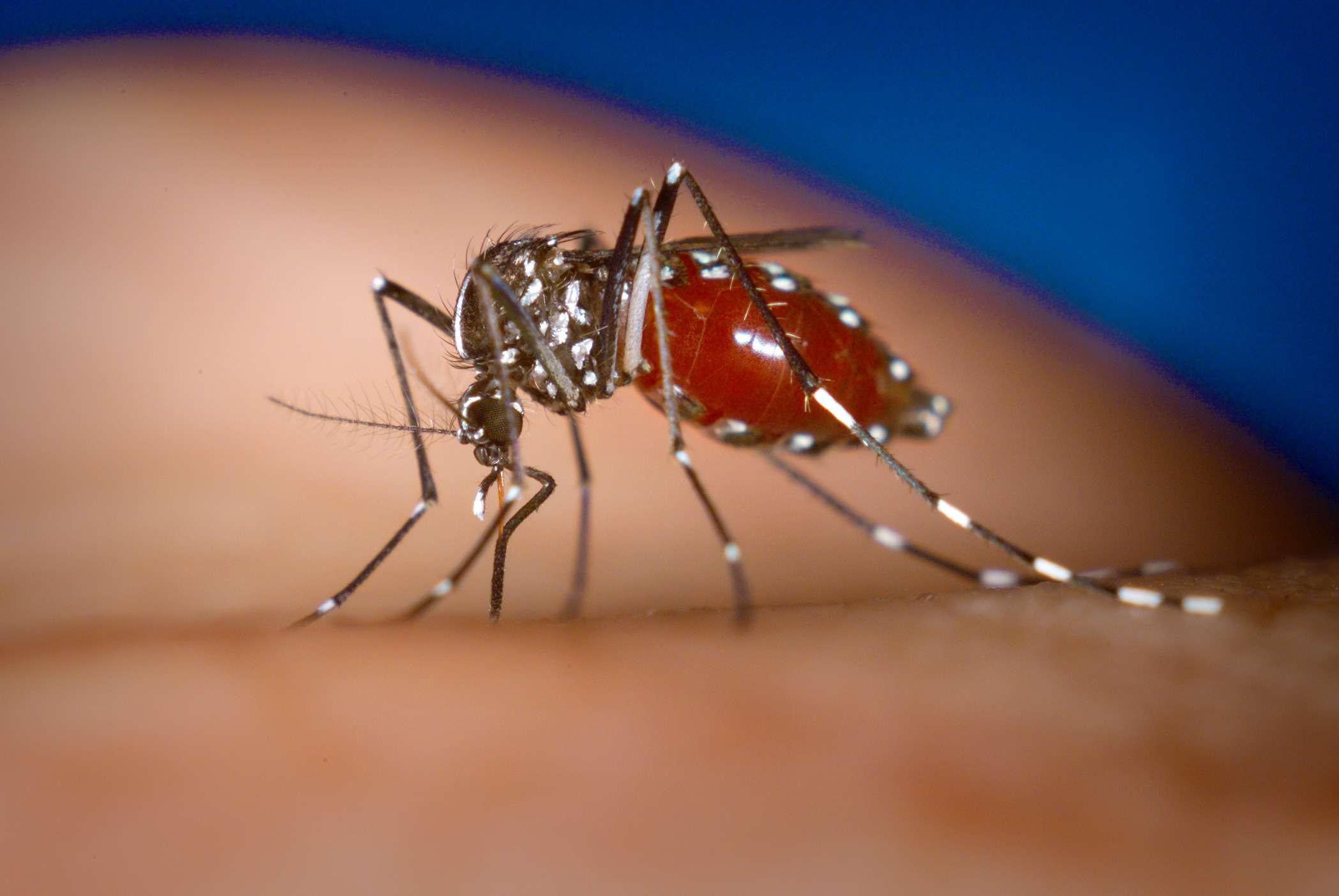 Aedes Albopictus bug close up