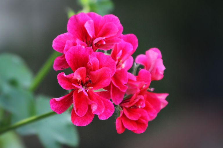 The Benefits of Geranium Essential Oil