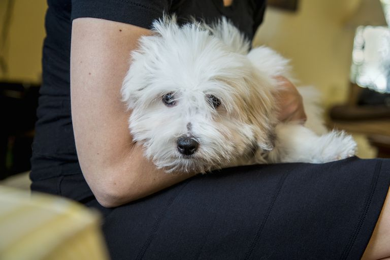 Bichon Frise held in a woman's lap