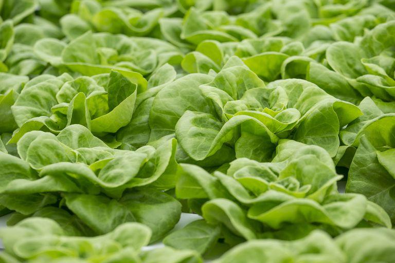 Lettuce growing in the wild