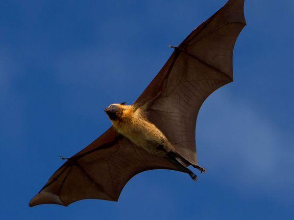 Bats - Chiroptera
