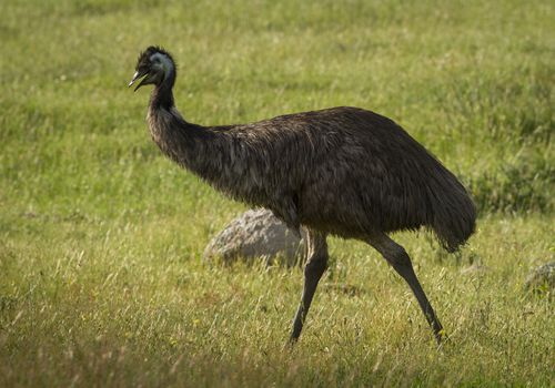an emu in the grass