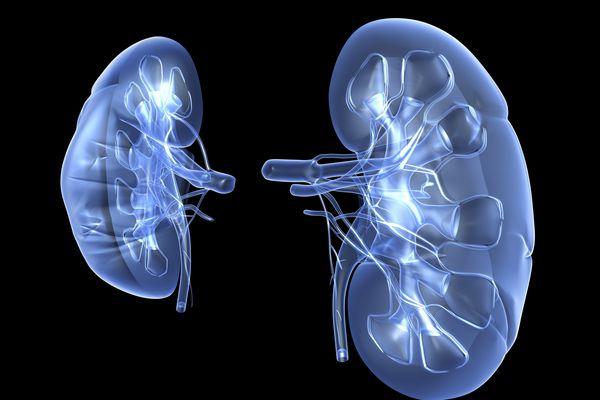 Kidneys