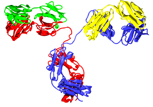 3D ribbon conformation of the antibody IgG2