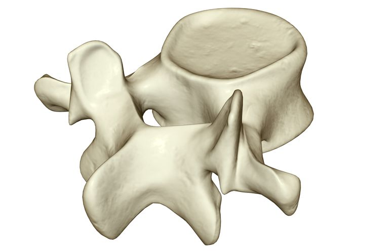 Vertebra or spinal bone