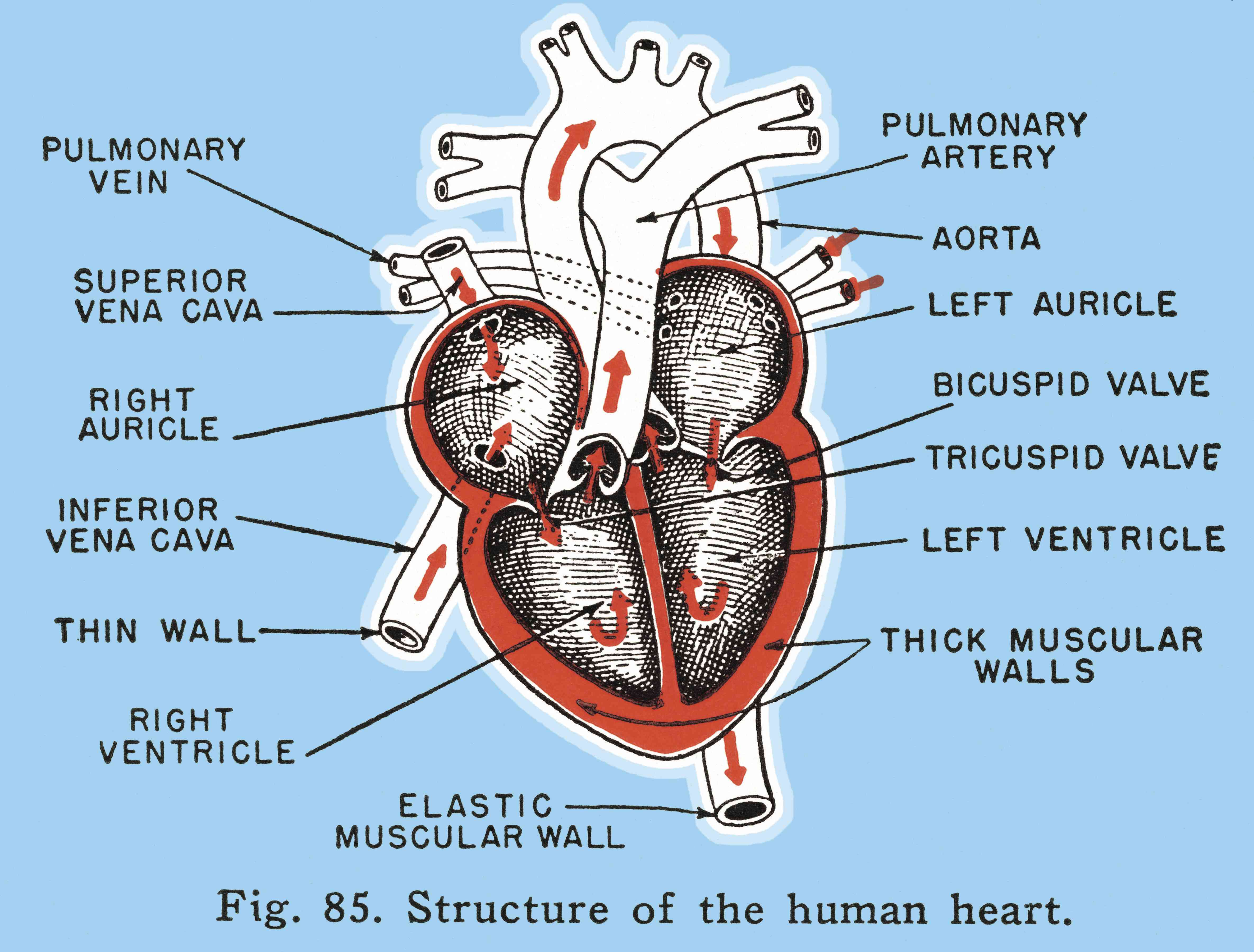 Labeled illustration of a human heart