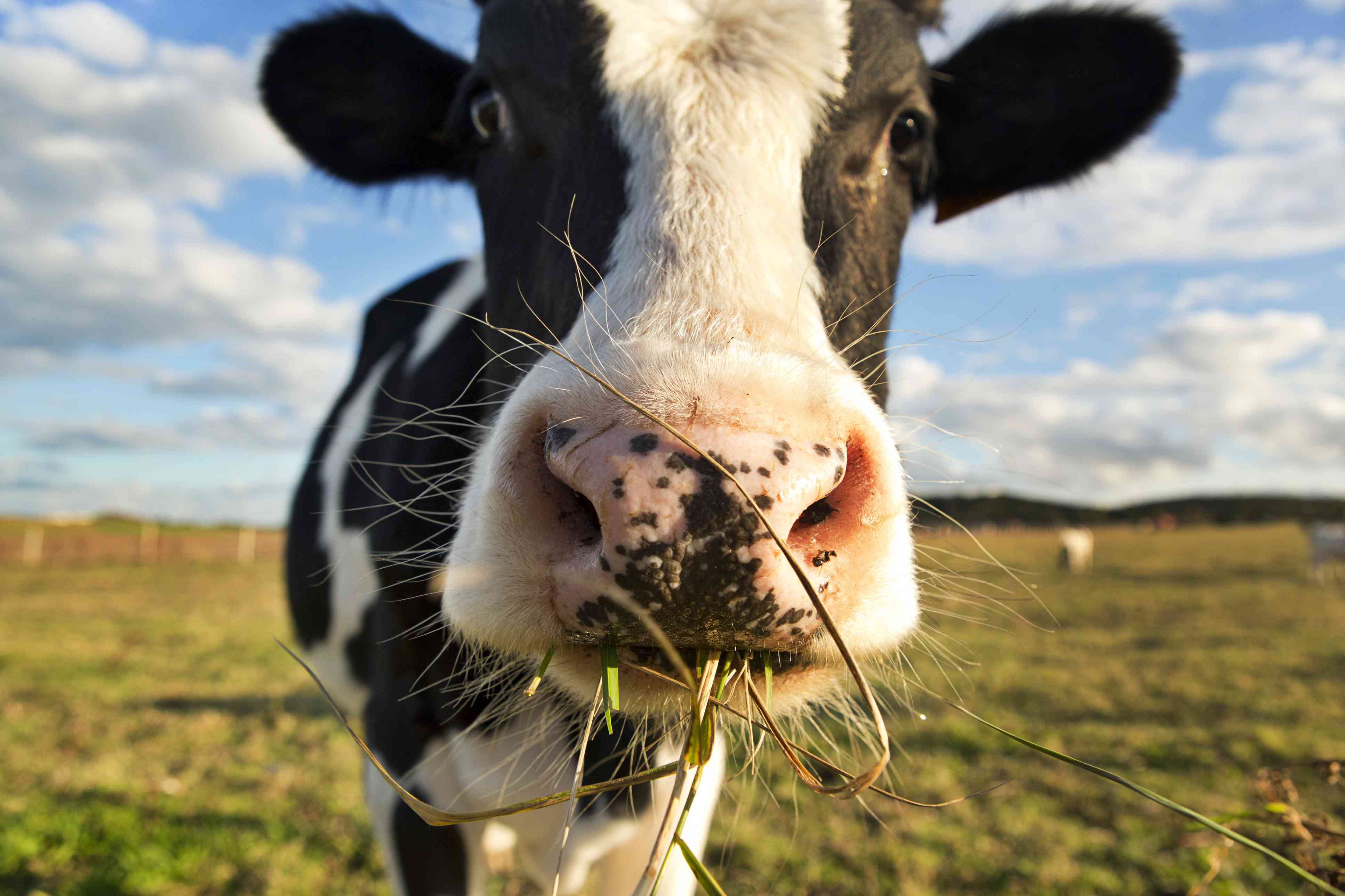 Close-up of a cow in a field