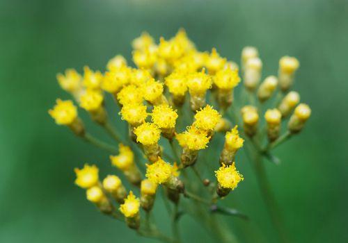 helichrysum plant