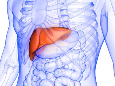 Liver a Part of Human Digestive System Anatomy X-ray 3D rendering