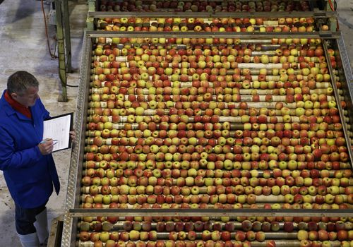 Overhead view of a man checking a large selection of apples on a factory conveyor belt.