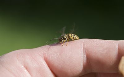 Yellow jacket on person's finger