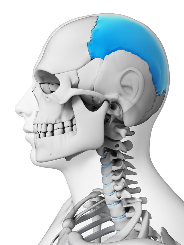 Parietal bone of the skull