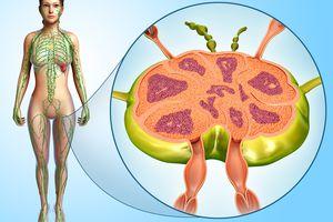 Female lymph node structure, illustration
