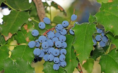 Uva Ursi: Benefits, Side Effects, Dosage, and Preparations