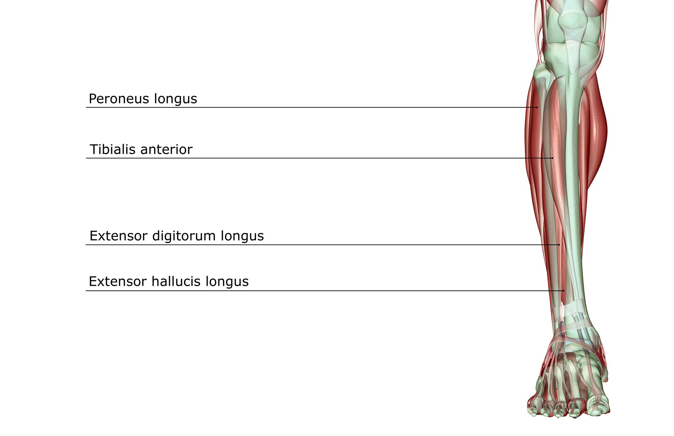 Anatomical photo of the lower leg.
