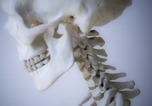 Skeleton head and neck