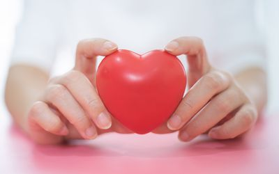 hands holding a plastic heart, posterior interventricular artery