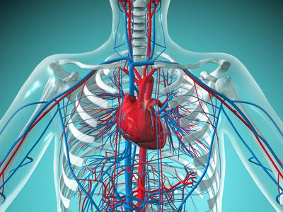 Heart and Circulatory System with Blood Vessels