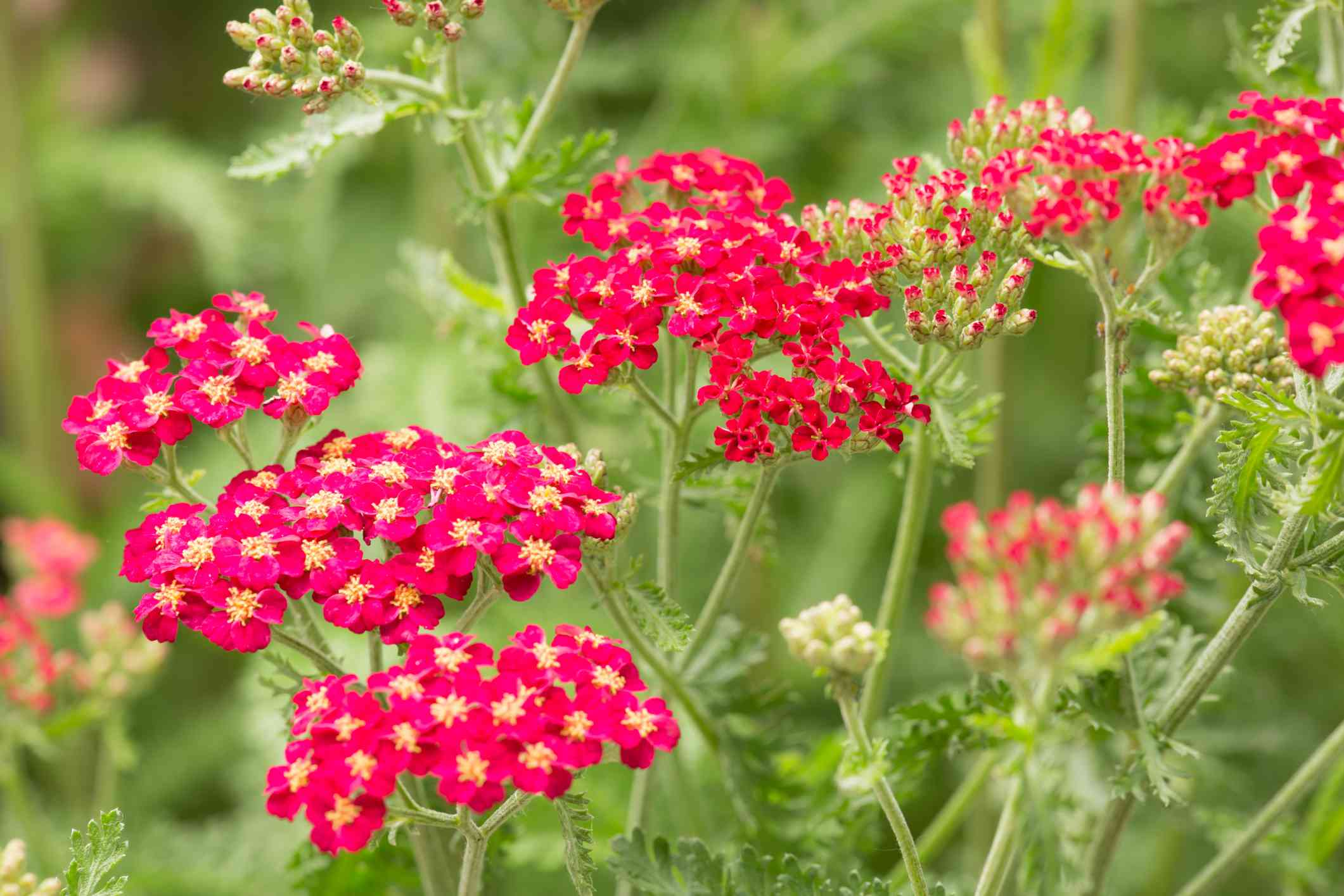 Yarrow Benefits Side Effects Dosage And Interactions