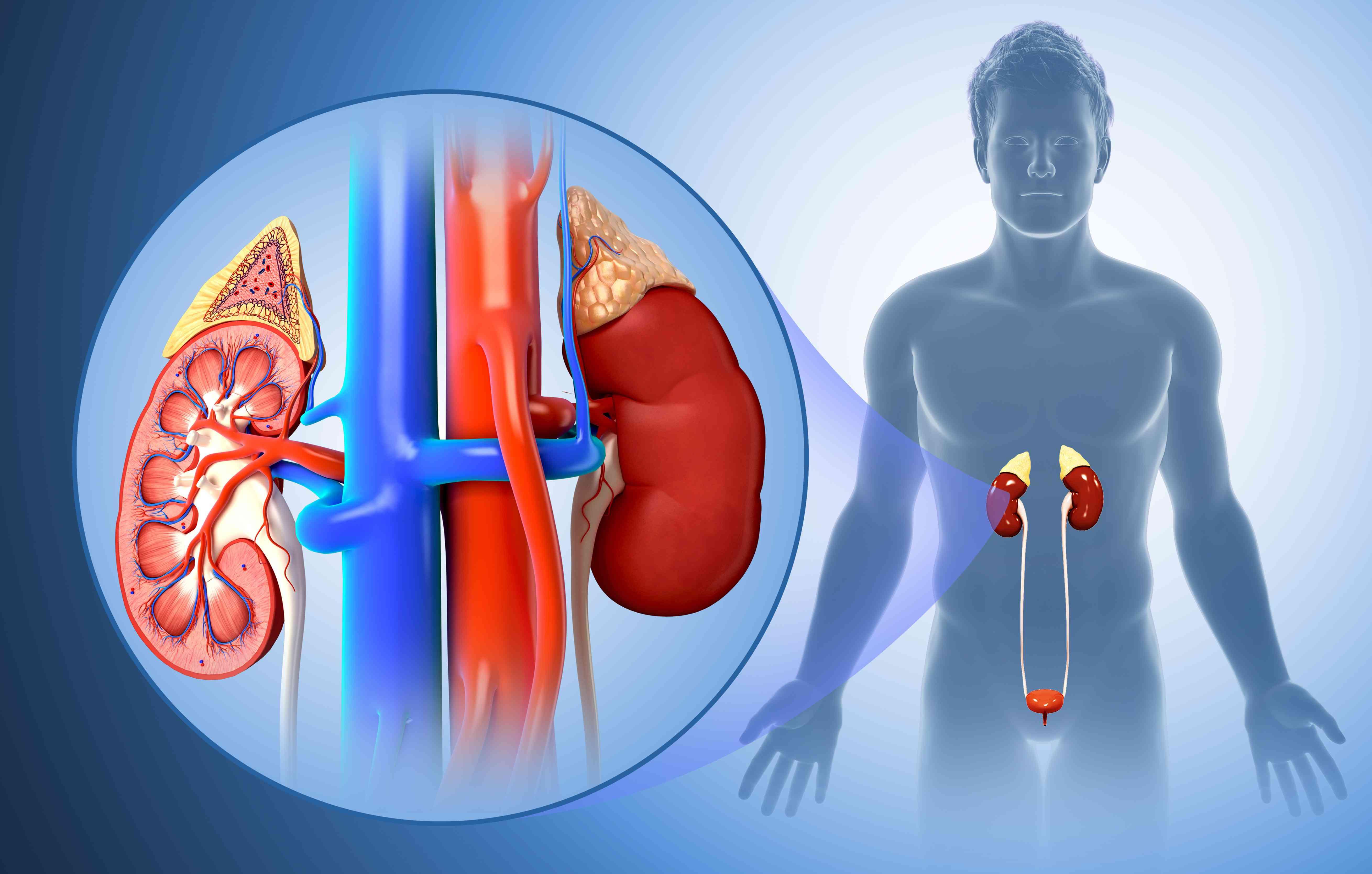 Male kidney anatomy, illustration
