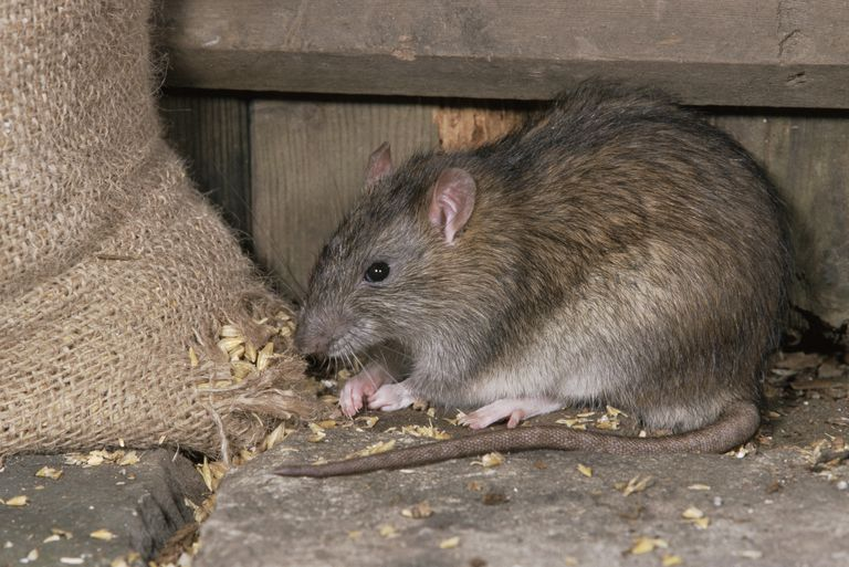 Brown rat eating grain
