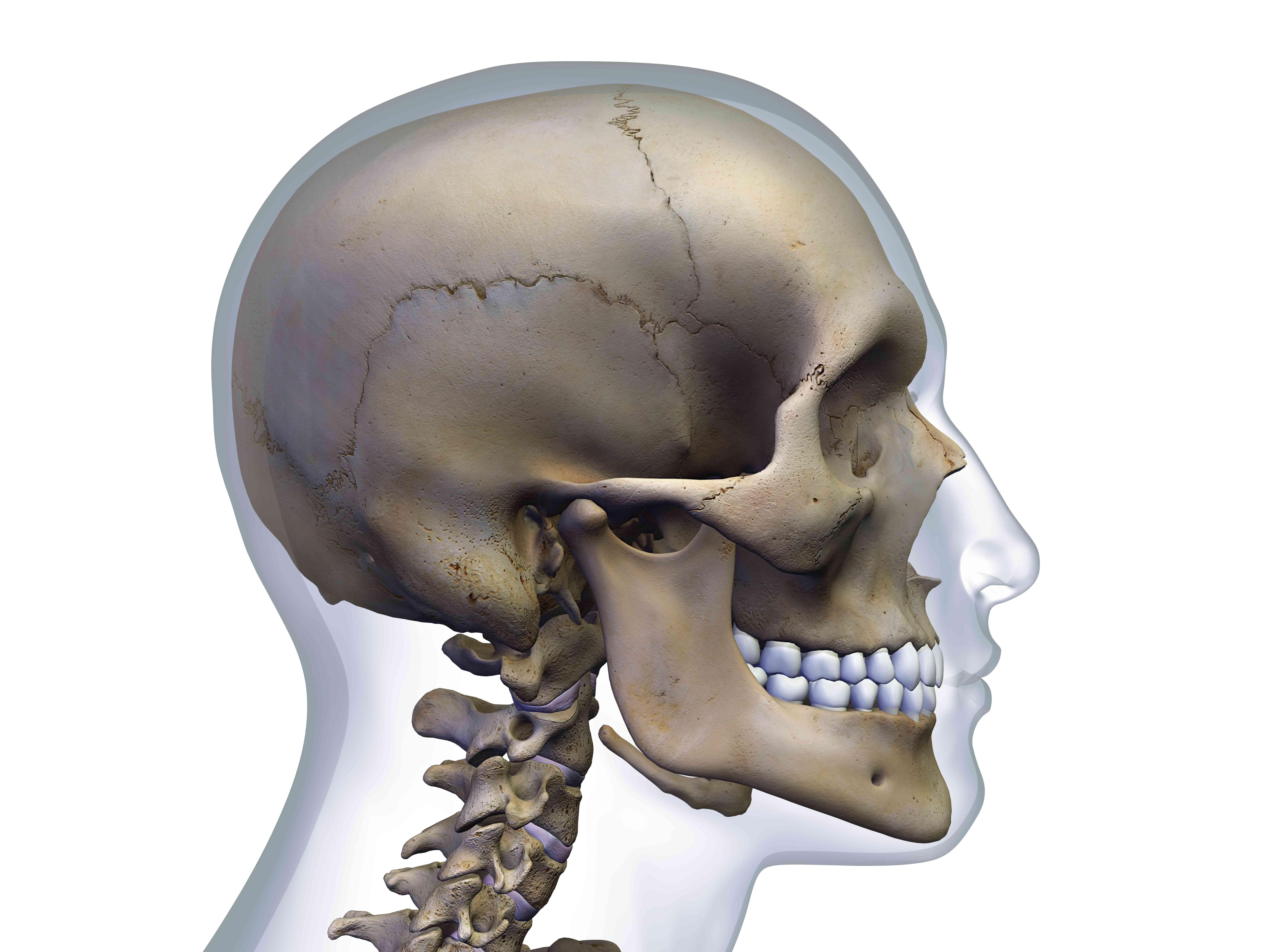 Occipital Bone: Anatomy, Function, and Treatment