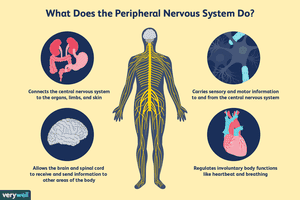 What does the peripheral nervous system do?