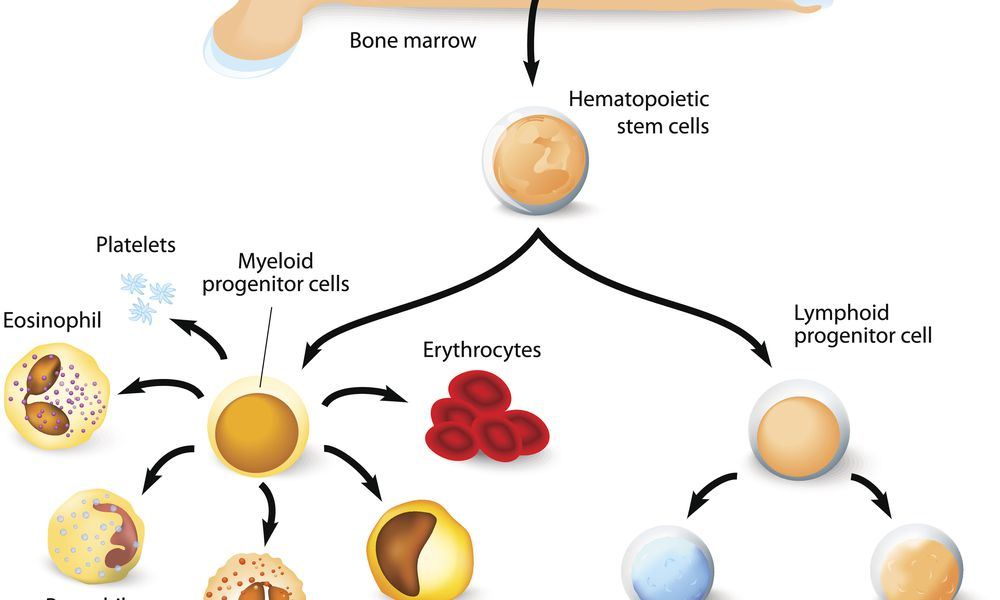 The types of blood cells that may be affected with leukopenia