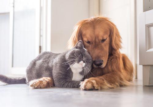 a cat and Golden Retriever cuddling